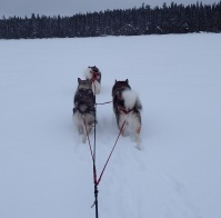 3 dog team Yuki Finn and Teddi