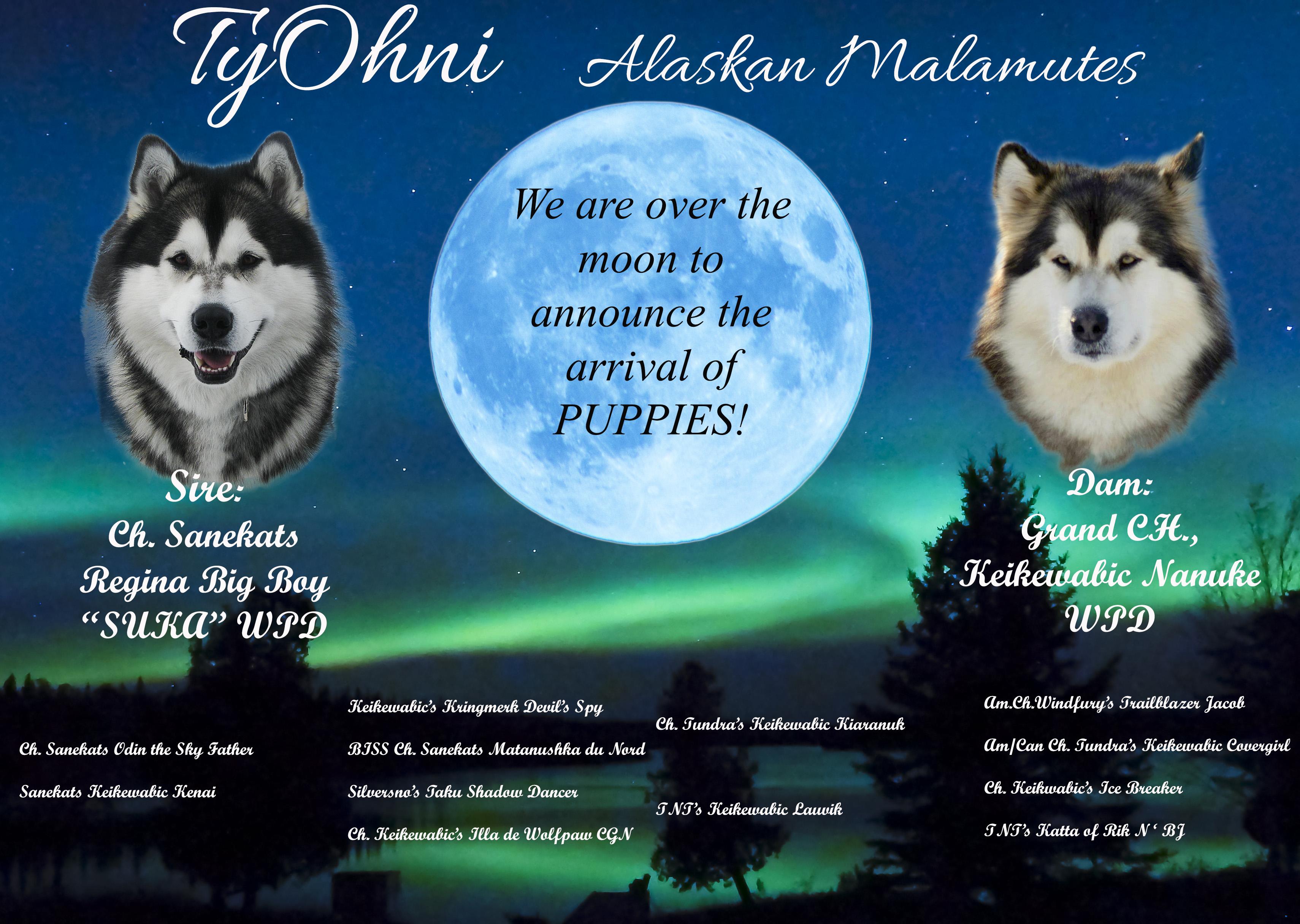 Suka and Nanuke puppies 2018