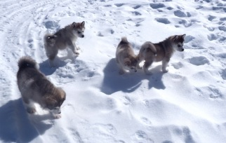 four puppies playing